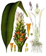 Turmeric Botanical Image