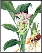 Turmeric Botanical Image 2