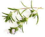 Winter Savory Botanical Image