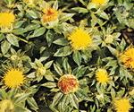 Safflower Plants