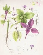 Green and Purple Basil Botanical Image