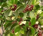 Bay Leaf Berries