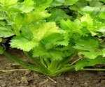 Celery Seed Plant