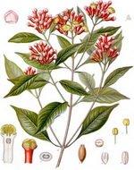 Cloves Botanical Image