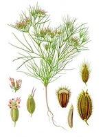 Cumin Botanical Cycle