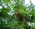 Epazote Plant with Berries