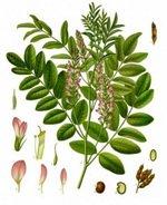 Licorice Root Botanical Cycle Image 1