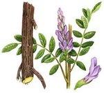 Licorice Root Botanical Image