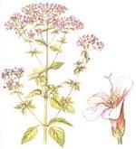 Oregano Botanical Cycle