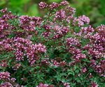 Oregano Plant with Flowers