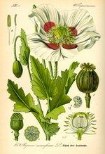 Poppy Seed Botanical Cycle