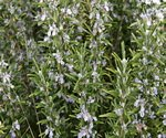 Rosemary officinalis