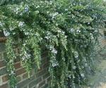 Rosemary prostratus