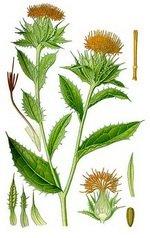 Safflower Botanical Cycle