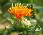 Safflower Flower