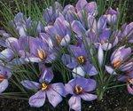 Saffron Plants