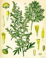 Tarragon Botanical Cycle