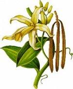 Vanilla Botanical Image 3