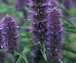 Licorice Flowers