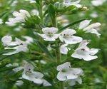 Winter Savory Plants